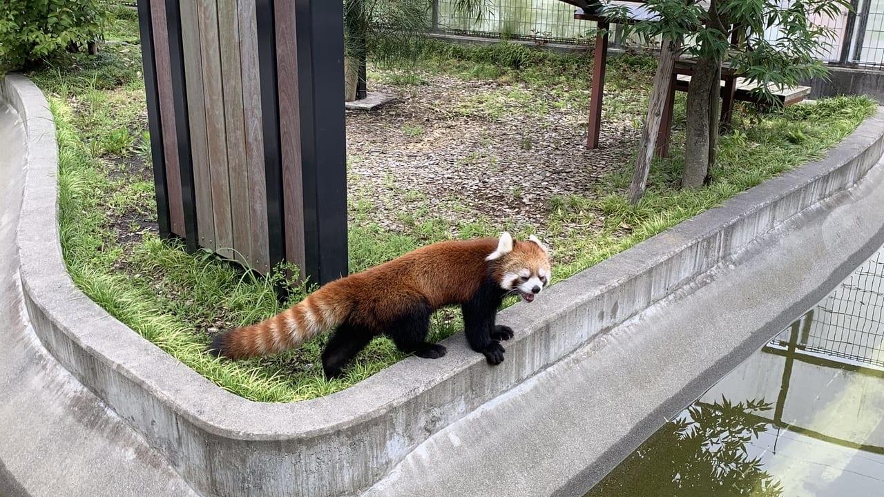 日本平動物園屋外のレッサーパンダ